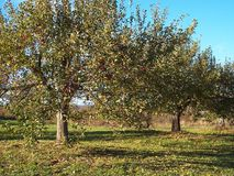 Apple Tree 3. Apple tree in an apple orchard stock images