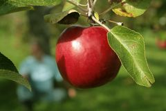 Apple in a tree royalty free stock image