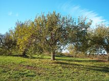 Apple Tree. In an apple orchard royalty free stock photo