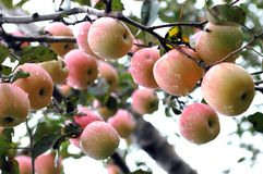 Apple tree. Closeup on red apples on the branch of an apple tree Royalty Free Stock Image