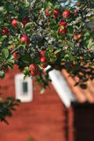 Apple tree. And a red wooden house stock image