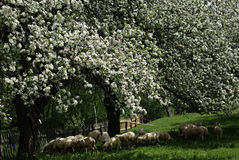 Apple Tree. Blossom apple tree behind the wooden fence next to the dirt country road Stock Photo