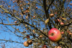 Apple in tree. An apple in a tree in autumn. The tree had hardly any leaves left Royalty Free Stock Image
