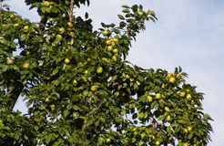 Apple tree. In the garden Stock Photos