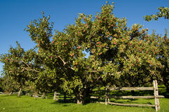 Apple tree. S in an orchard, with cedar fence Royalty Free Stock Photos