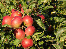 Apple-tree Royalty Free Stock Images