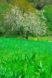 Apple tree. Spring apple tree blossom flower stock photography