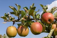 Apple tree. Delicious apples on the branch of an apple tree on the background of blue sky royalty free stock image