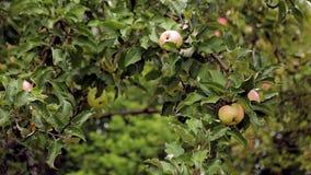 Apple-tree stock video