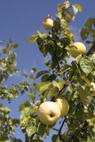 Apple tree. On a beautiful blue sky royalty free stock images