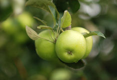 Apple tree. Green apples on a tree stock photography