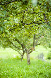 Apple tree. A apple tree  on a grass field in summer Royalty Free Stock Photos