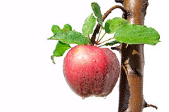 Apple on tree Royalty Free Stock Image