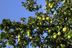 Apple tree. Apples on the tree stock image
