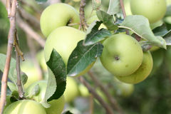 Apple Tree. Detail of apples on a tree Stock Images