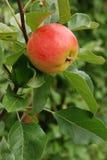 Apple on a tree Royalty Free Stock Photos