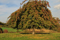 Free Apple Tree Stock Image - 6788611