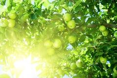 Apple tree stock photos