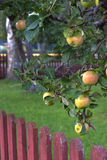 Apple tree. Apples on a tree hanging over a fence Royalty Free Stock Photo