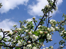 Apple tree. Stock Images