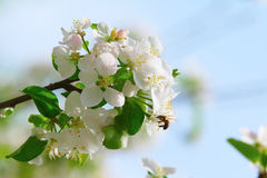 Apple-tree Royalty Free Stock Photography