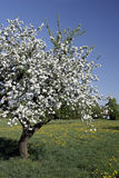 Apple tree. Old blooming in spring apple tree Royalty Free Stock Photos