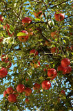 Apple tree. With many red apples Royalty Free Stock Photos