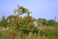Apple-tree. An apple-tree covered with fruit Stock Photo