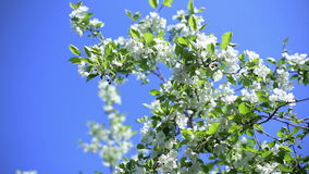 Apple tree against the blue sky stock video