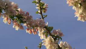 Apple-Tree Against The Sky stock footage