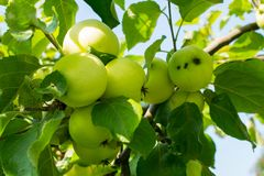 Apple tree against the sun Royalty Free Stock Image