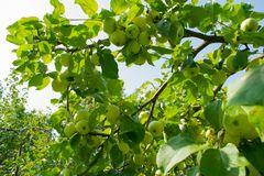 Apple tree against the sun Royalty Free Stock Images