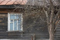 Apple tree against window of old wooden house in spring Stock Photo