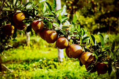 Apple tree at apple orchard. Branch of apples in a row on a tree in an apple orchard Stock Photos