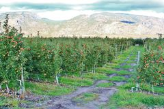 Apple Tree, Apple Orchard In Okanagan Valley, Kelowna, British Columbia.  Royalty Free Stock Photo