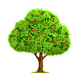 Apple tree with apple Royalty Free Stock Photography