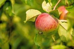 Apple on a tree Stock Photo
