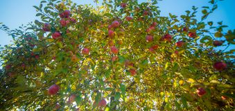 Apple tree. With red apples and blue sky, low wide angle royalty free stock images