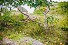 Apple tree with apples and fell on the grass Royalty Free Stock Images