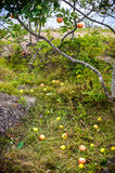 Apple tree with apples and fell on the grass Stock Photos