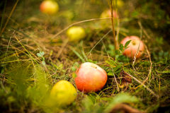 Apple tree with apples and fell on the grass Royalty Free Stock Photography
