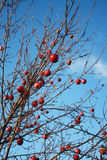 Apple-tree with apples without leaves in November. A lot of red apples on an apple-tree against the blue sky Stock Images