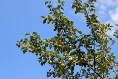 Apple-tree with apples over a blue sky Stock Photography