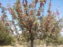 Red apples on trees in orchard Stock Photography