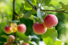 Apple tree with apples 5. Ripe red apples hang from apple tree branches. Summer, sunny day Stock Images