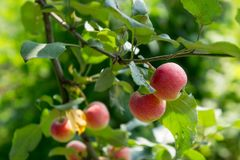Apple tree with apples 4. Ripe red apples hang from apple tree branches. Summer, sunny day Stock Photos