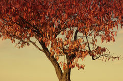 Apple tree in autumn Royalty Free Stock Photos