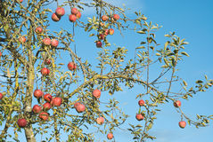 Apple Tree in Autumn Stock Photography