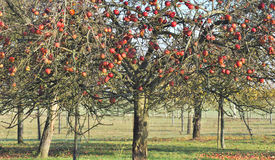 Apple tree in autumn Stock Photos