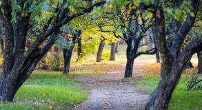Apple tree autumn park Royalty Free Stock Image